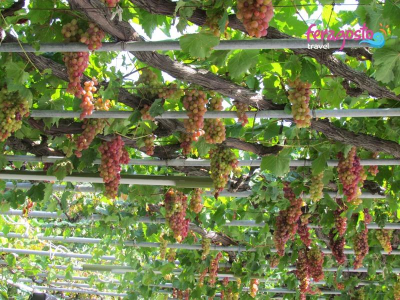 alliki tasos vinograd